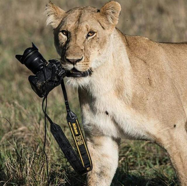 Lioness with Nikon.jpg