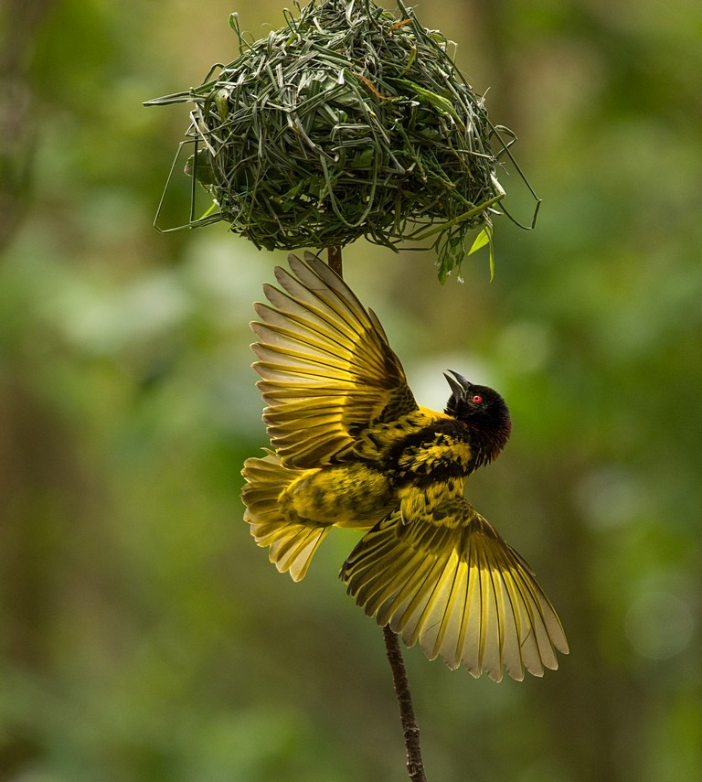 Village Weaver building nest